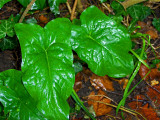 DAMP ARUM LILY LEAVES