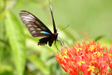 Raja Brooke Birdwings Butterfly (female)