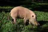 Breaded pig