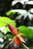 Wild banana flower
