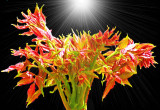Flowering Rays