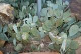 Pine Log Cactus