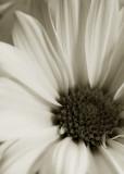 Daisy - black & white