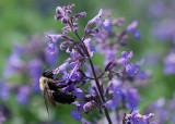 Blue Salvia & Bumble Bee