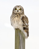 short_eared_owl_and_other_salisbury