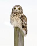 short_eared_owl_and_other_salisbury