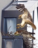 redtailed_hawk_nest_in_cambridge