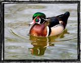 Wood Ducks +