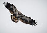 a beautiful immature eagle