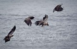 Young eagles ganging up on one with a fish!