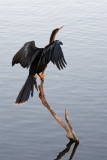 Anhinga looking for fish