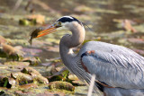 A Great Blue Heron Goes Fishing