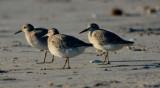Shore-birds, Various