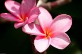 n6697 Pink Plumeria