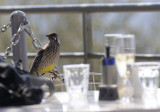 a red wattlebird joins us for lunch