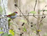 bushland_birds