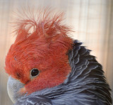 no idea what this parrot is but bad hair day