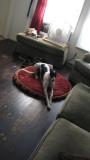 Greyhound on her bed