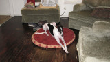 Greyhound Carlow on her bed