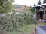 After pullin down the Alder/Birch leaning over the house