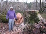 4 foot big leaf maple felled