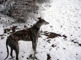 ROman the Greyhound int he snow in St Louis Missouri