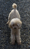 Freda's poodle