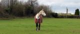 horse in carlow