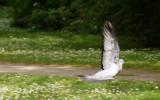 Lodräta vingar - men den flyger ändå!