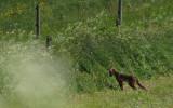 Räven hör kvällsmaten i dikeskanten...