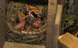 Koltrastungar, små men hungriga!