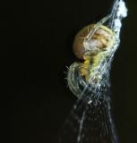 Mycket liten spindel, ungefär 2 mm stor, supermakro