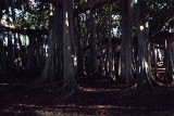 banyan tree at Edison Ford Estate