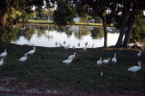 a flock of ibises