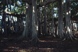 Edison Ford Estate banyan tree in 6 by 9
