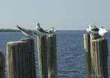 courting Royal terns