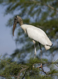 woodstork in young cypress