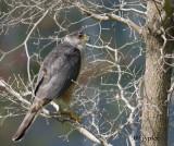 cooper's hawk in the back yard