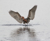reddish egret ready to fish