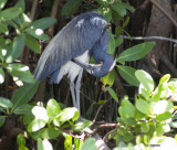 tri color heron in deep shade