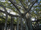 Edison Ford Banyan tree; limbs and prop roots