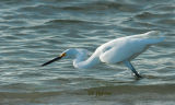 snowy egret. fishing in the surf