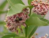 milkweed flower and bee