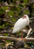 white ibis on one pink foot