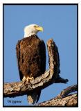 bald eagle in a slash pine snag