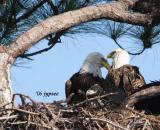 bald eagles and chick