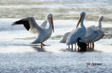 white pelicans and a cormorant