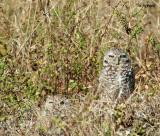 nesting pair of burrowing owls