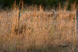 white tailed deer through the grass