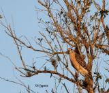 red shouldered hawk in evening light
